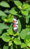 Piano Key Butterfly Royalty Free Stock Images