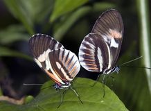 Piano Key Butterflys Stock Image