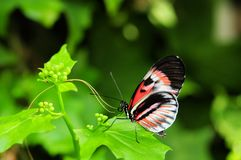 Piano Key (Heliconius) butterfly Stock Photo