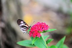 Piano Key (Heliconius) butterfly Royalty Free Stock Photo