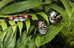 Piano key Heliconius Butterfly Royalty Free Stock Image
