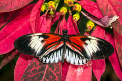 Piano key Heliconius Butterfly Royalty Free Stock Photography
