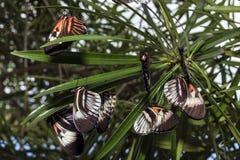 Piano key Heliconius Butterfly Stock Photo