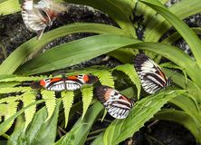 Piano key Heliconius Butterfly Royalty Free Stock Images
