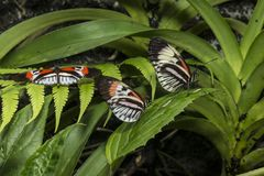 Piano key Heliconius Butterfly Royalty Free Stock Photo