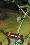 Piano key Heliconius Butterfly Stock Photos