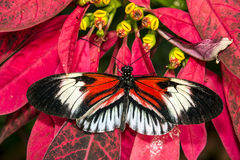 Piano key Heliconius Butterfly Stock Images