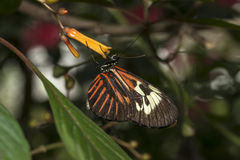 Piano key Heliconius Butterfly Royalty Free Stock Photos