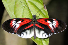 Piano key, heliconius melpomene Stock Photo