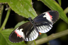 Piano key, heliconius melpomene Stock Photography
