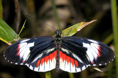 Piano key, heliconius melpomene Royalty Free Stock Photography