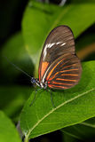 Piano key, heliconius melpomene Royalty Free Stock Images