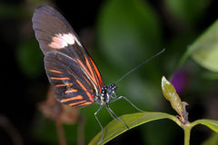 Piano key, heliconius melpomene Royalty Free Stock Image