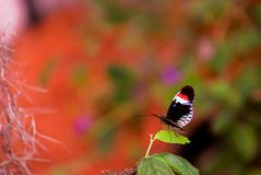 Piano key longwing butterfly, blurred background Royalty Free Stock Photo