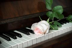 Piano keyboard and one pale pink rose is lying on it. Stock Photography