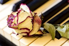 Piano keys with dry rose. The idea of the concept for love of music, for the composer, musical inspiration. Piano keys with dry rose. The idea of the concept for royalty free stock photo