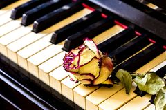 Piano keys with dry rose. The idea of the concept for love of music, for the composer, musical inspiration. Piano keys with dry rose. Idea of the concept for royalty free stock photos