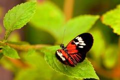 Piano zeer belangrijke vlinder (Madera) Stock Foto's