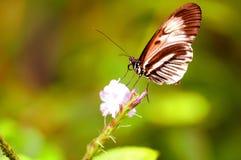 Piano zeer belangrijke vlinder op bloem in vogelhuis in Florida Stock Foto's