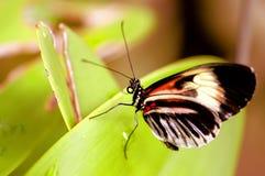 Piano zeer belangrijke vlinder op groen blad in vogelhuis Royalty-vrije Stock Foto's