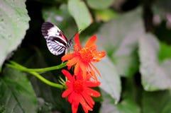 Piano zeer belangrijke vlinder op rode bloemen Stock Fotografie