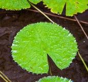 Pianta acquatica Fotografie Stock Libere da Diritti