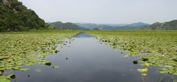 Pianta acquatica in lago Skadar montenegro fotografie stock libere da diritti