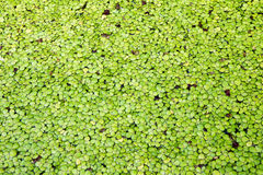 Pianta acquatica verde della foglia Fotografia Stock