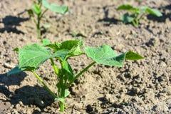Pianta agricola nel campo Giovane tiro del cetriolo Immagine Stock Libera da Diritti
