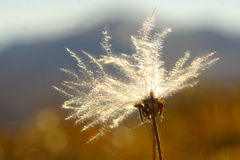 Pianta alpina Immagini Stock Libere da Diritti