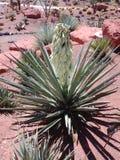 Pianta appuntita del deserto fotografia stock