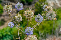 Pianta appuntita selvatica del Cipro con i fiori Immagine Stock Libera da Diritti