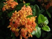 Pianta arancio con i fiori Fotografie Stock