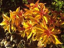 Pianta arancio rossa gialla del cracker del fuoco Fotografia Stock