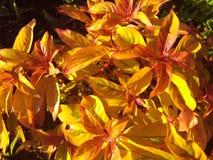 Pianta arancio rossa gialla del cracker del fuoco Immagine Stock Libera da Diritti