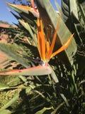 Pianta arancione Immagine Stock