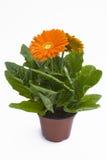 Pianta arancione del gerbera Fotografie Stock Libere da Diritti