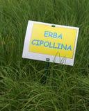Pianta aromatica con l'etichetta con il testo ERBA CIPOLLINA cui in Fotografie Stock