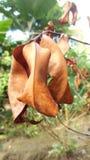 Pianta asciutta della Sri Lanka Fotografie Stock Libere da Diritti
