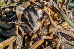 Pianta asciutta di vera dell'aloe in natura Immagine Stock