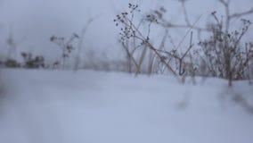 Pianta asciutta sui precedenti di neve bianca video d archivio