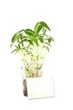 Pianta bianca di fagiolo e della scheda su bianco Fotografie Stock