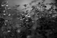 Pianta in bianco e nero dell'origano, fine su fotografia stock libera da diritti