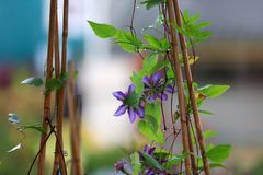 Pianta blu del fiore su inutile fotografia stock libera da diritti