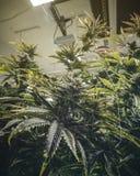 Pianta Bud Grown della cannabis nel magazzino commerciale di industria fotografie stock libere da diritti