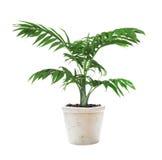 Pianta Chamaedorea della Camera in un vaso di fiore Fotografie Stock