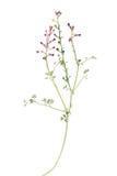 Pianta comune del Fumitory isolata su bianco Fotografie Stock