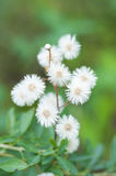 Pianta con i fiori bianchi Fotografia Stock Libera da Diritti