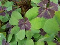 Pianta con le foglie di porpora e verdi Immagine Stock Libera da Diritti