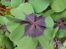 Pianta con le foglie di porpora e verdi Fotografie Stock